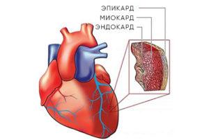 схема сердца